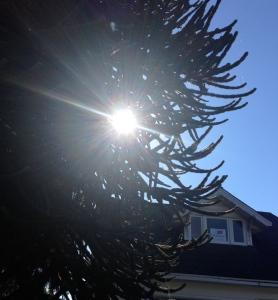 Sun thru monkey tree